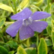 Vinca minor 'Aureovariegata' (Maagdenpalm)