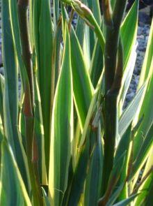 Yucca gloriosa Variegata (Bontbladige Palmlelie)