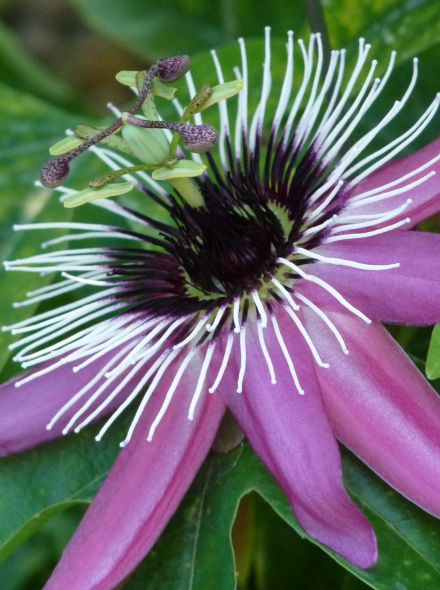 Passiflora 'Purple Haze' (Passiebloem)