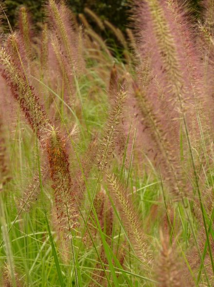 Pennisetum alopecuroides 'Hameln' (Lampenpoetsergras)