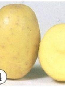 Finka pootaardappelen (1 kg, Finka is een vroege vrij vastkokende tot licht kruimige aardappel, frietaardappel)