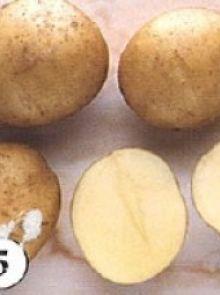 Frieslander pootaardappelen (5 kg, Frieslander is een vroege goede consumptie- en frietaardappel)