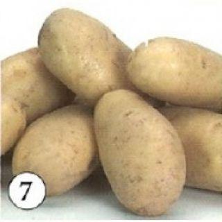Lady Christle pootaardappelen (2,5 kg, Christle is een vastkokende vroege aardappel)