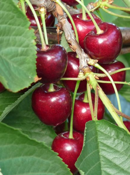 Halfstam kersenboom Kordia (Prunus avium Kordia in pot)