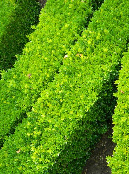 Buxus microphylla 'Faulkner' (meeneemhaag Randpalm)