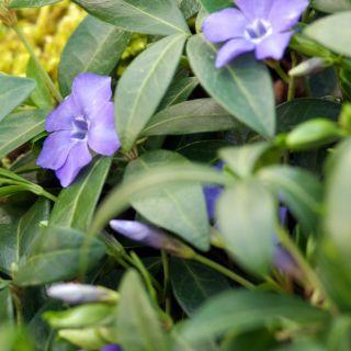 Vinca minor (kleine blauwe maagdenpalm, Kleines Immergrün, Lesser periwinkle)