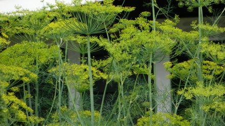 Tuinkruiden en keukenkruiden (zaden)