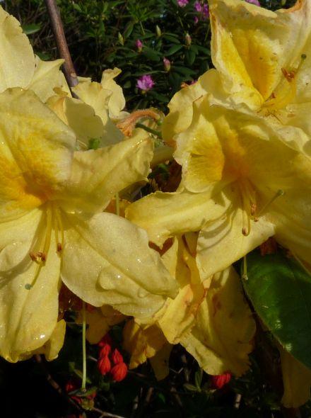 Azalea knaphill 'Harvest Moon' (Rhododendron Harvest Moon)