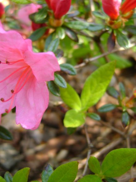 Azalea 'Madame van Hecke' (Rhododendron 'Madame van Hecke')
