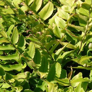 ijzervaren, sikkelvaren (Cyrtomium fortunei) - p9