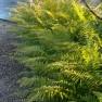 Polystichum setiferum (Zachte naaldvaren, Grannen-Schildfarn, Borstiger Schildfarn, Soft shield-fern)
