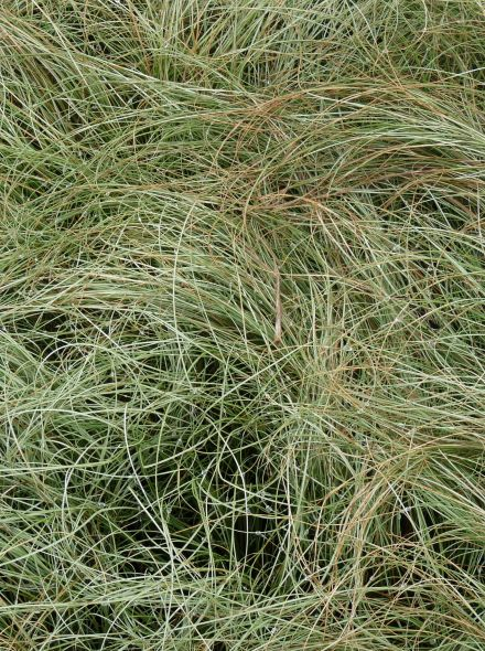 Carex comans Frosted Curls (Zegge)