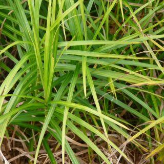 Morgensterzegge (Carex grayi) - p9