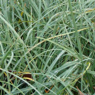 Carex panicea (Blauwe zegge)