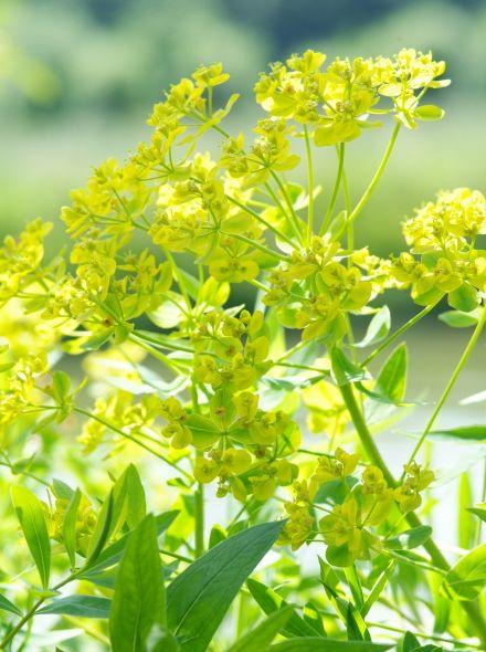 Euphorbia palustris (moeraswolfsmelk) per 3 stuks
