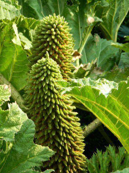 Gunnera manicata  (mammoetblad of reuzenrabarber)  per stuk