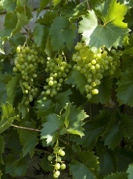 Vitis vinifera Vroege van der laan (Witte druif, druivelaar, weiße Traube, Traubenrebe, White grape vine)