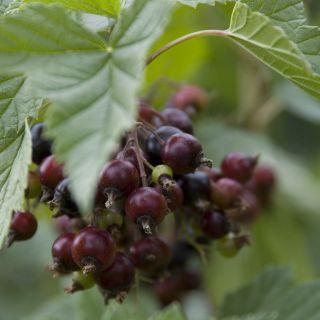 Ribes nigrum 'Silvergieter's Zwarte' (Zwarte bes) - in pot