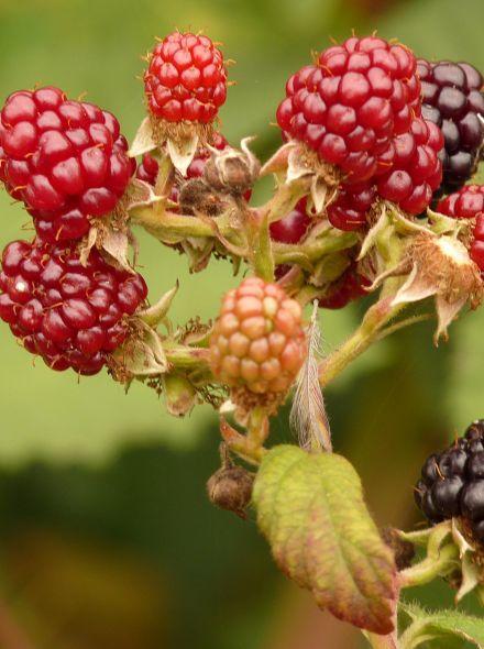 Rubus fruticosus 'Chester Thornless' (Doornloze Braam) - in pot