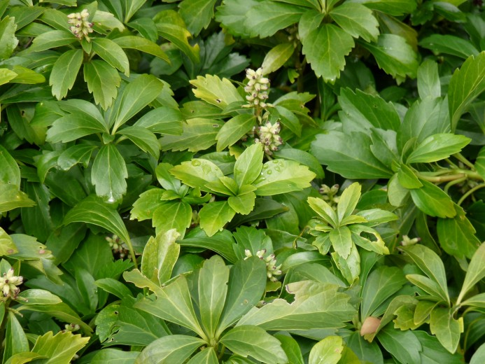 Pachysandra Terminalis Green Carpet Prijzen - Carpet Vidalondon