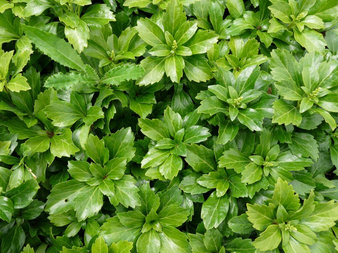 Pachysandra terminalis 'Green Carpet' (Schaduwkruid, Dikkemanskruid)