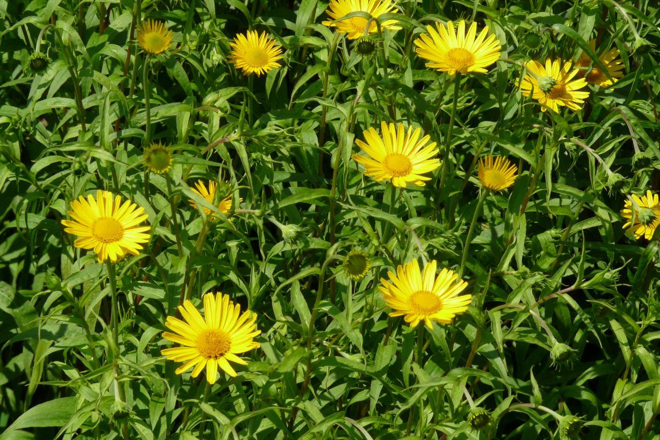 Doronicum orientale (Voorjaarszonnebloem)