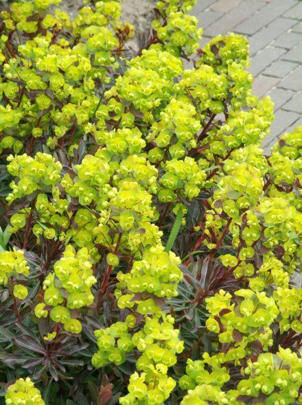 Euphorbia amygdaloides 'Purpurea' (Wolfsmelk)