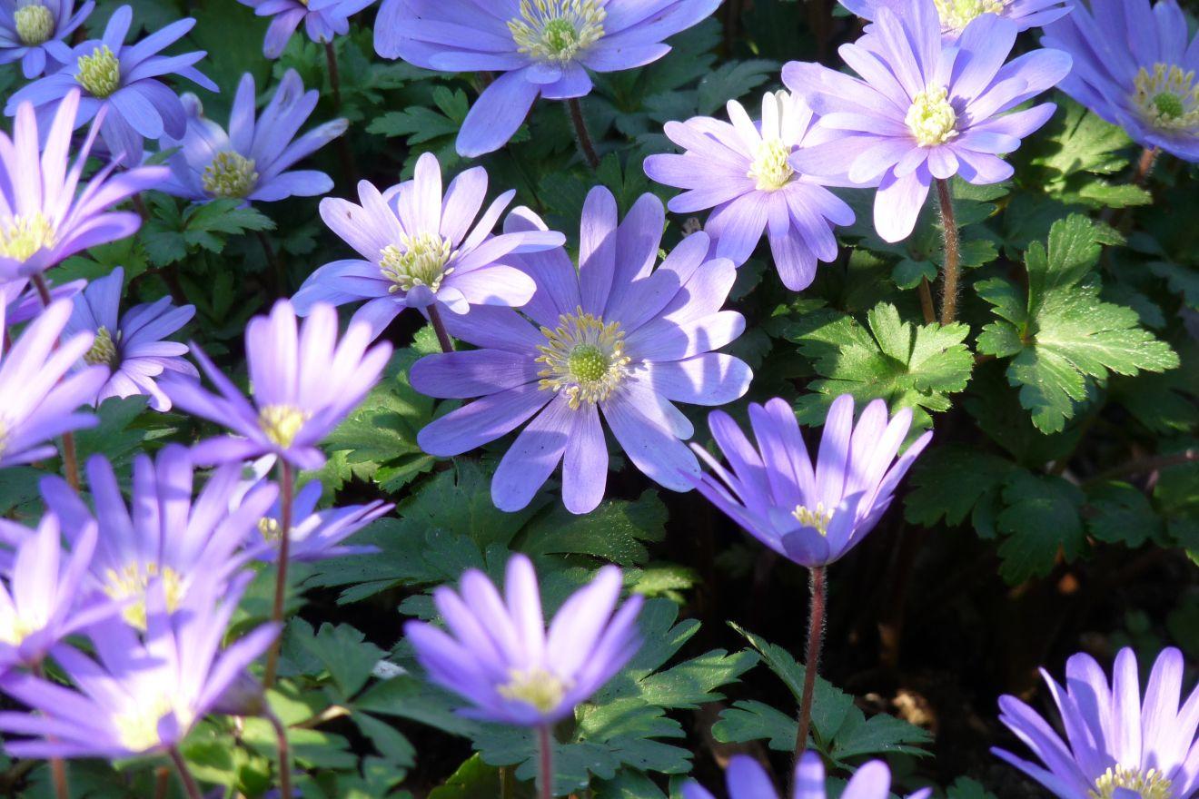 Anemone blanda 'Blue Shades' (Blauwe anemoon, Oosterse anemoon)