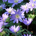Anemone blanda 'Blue Shades' (Blauwe anemoon, Oosterse anemoon) - p9