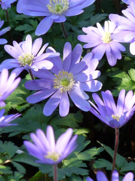 Anemone blanda 'Blue Shades' (Blauwe anemoon, Oosterse anemoon)