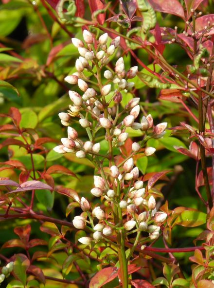 Nandina domestica (Hemelse bamboe meeneemhaag)