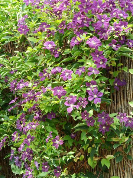 Clematis 'Etoile Violette' (Bosrank of bosdruif)