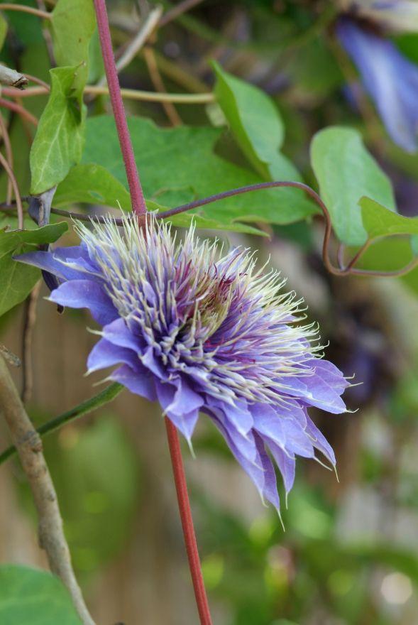 Clematis 'Multi Blue'  (Bosrank of bosdruif)