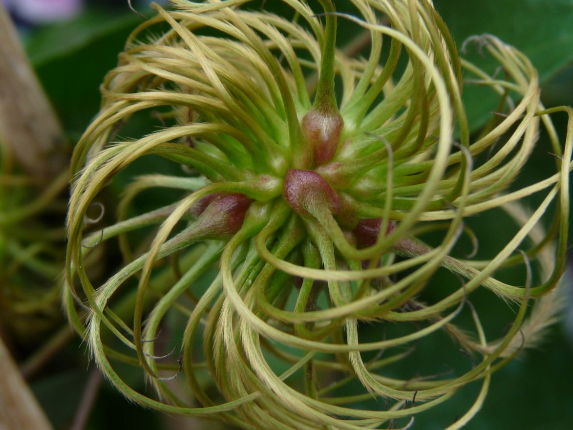 Clematis 'Nelly Moser'  (Bosrank of bosdruif)