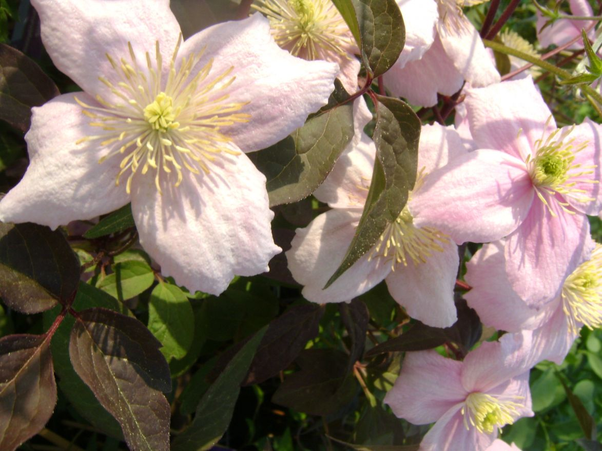Clematis montana 'Mayleen' (Bosrank of bosdruif)