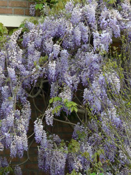 Wisteria sinensis (Blauwe regen)