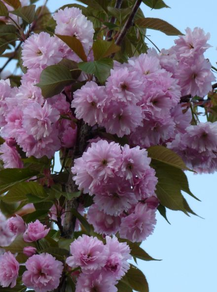 Prunus serrulata 'Kanzan' (Japanse kers, sierkers)