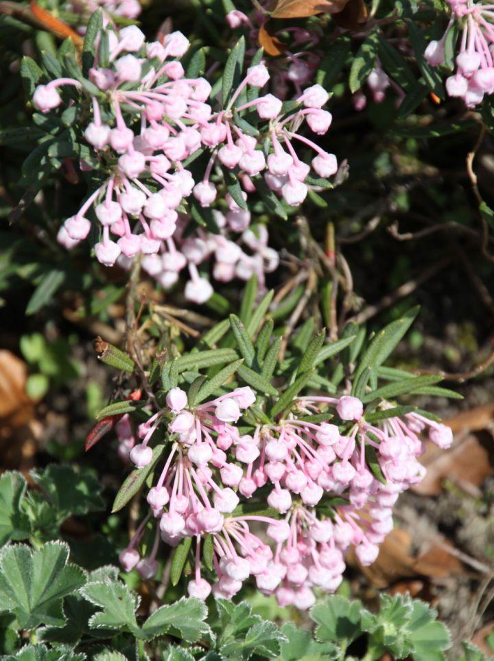 Andromeda polifolia - Lavendelheide, rotsheide