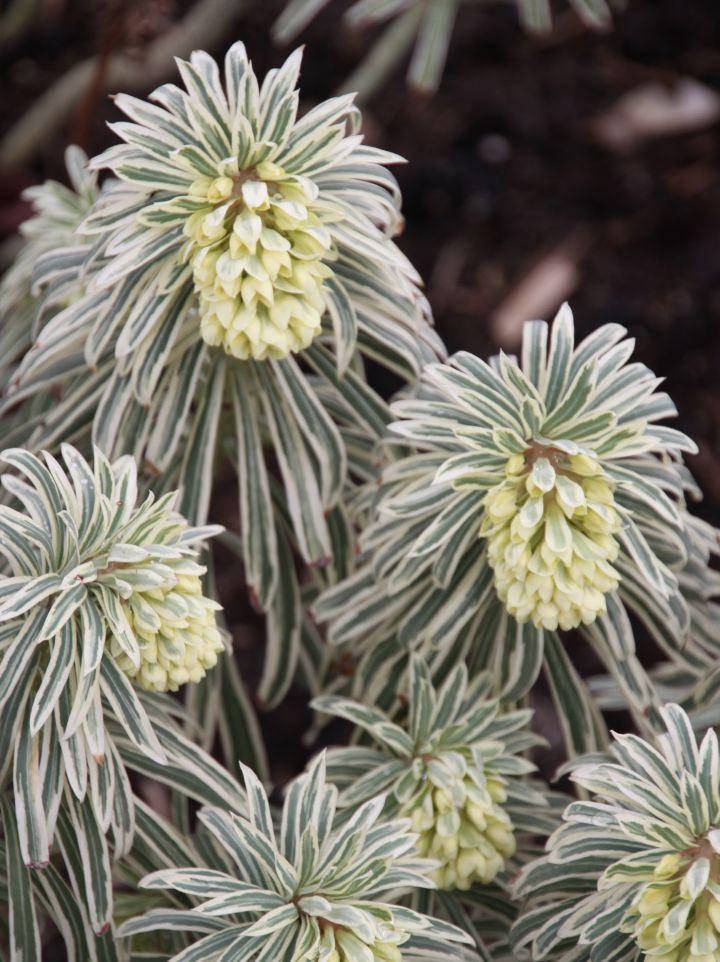 Euphorbia characias 'Burrow's Silver' - Wolfsmelk