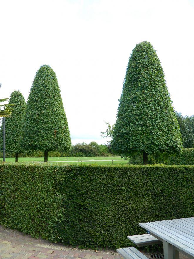 Acer campestre (Veldesdoorn, Spaanse aak)