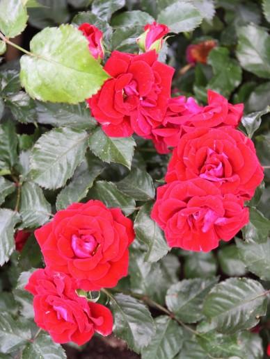 Rosa 'Ronda' - Roos
