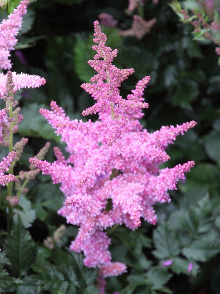 Astilbe chinensis 'Little Vision in Pink' - Pluimspirea, prachtspirea