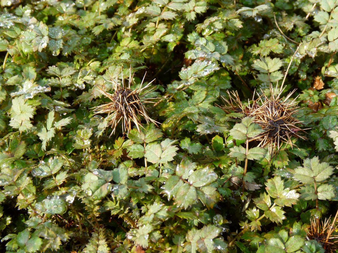 Acaena microphylla (Stekelnootje)