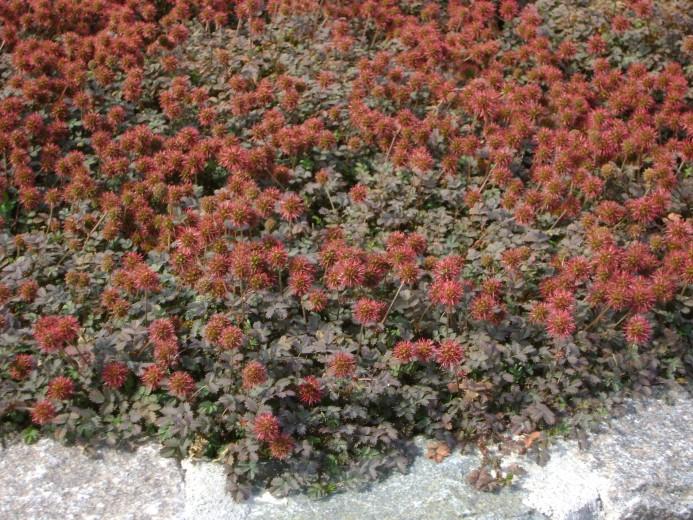 Acaena microphylla 'Kupferteppich' (Stekelnootje)