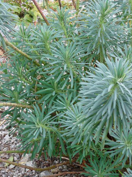 Euphorbia characias (Wolfsmelk)