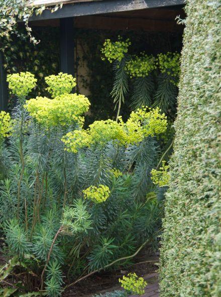 Euphorbia characias subsp. wulfenii (Wolfsmelk)
