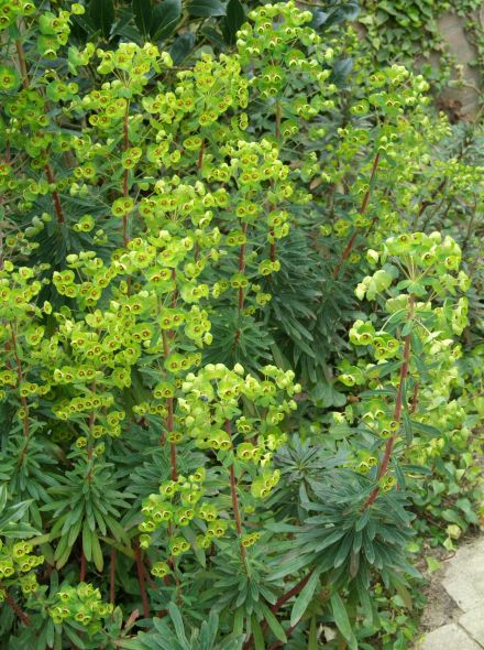 Euphorbia martinii (Wolfsmelk)