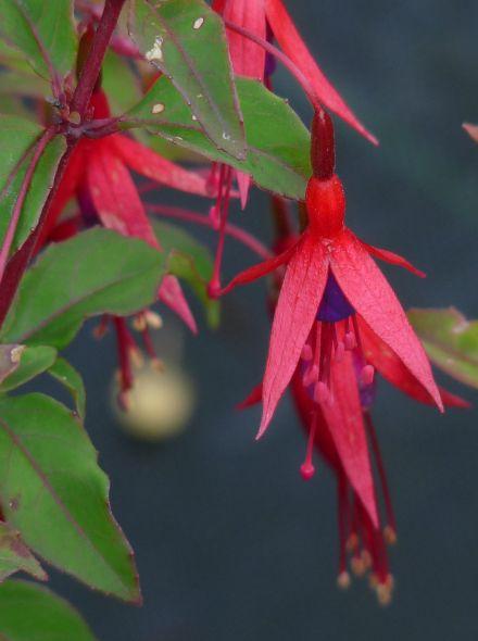 Fuchsia 'Riccartonii' (Bellenplant)