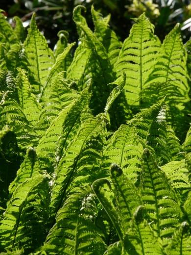 Matteuccia struthiopteris (Struisvaren, bekervaren, Straußenfarn, Fiddlehead fern, shuttlecock fern)