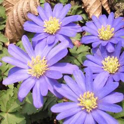 Anemone blanda - Blauwe anemoon